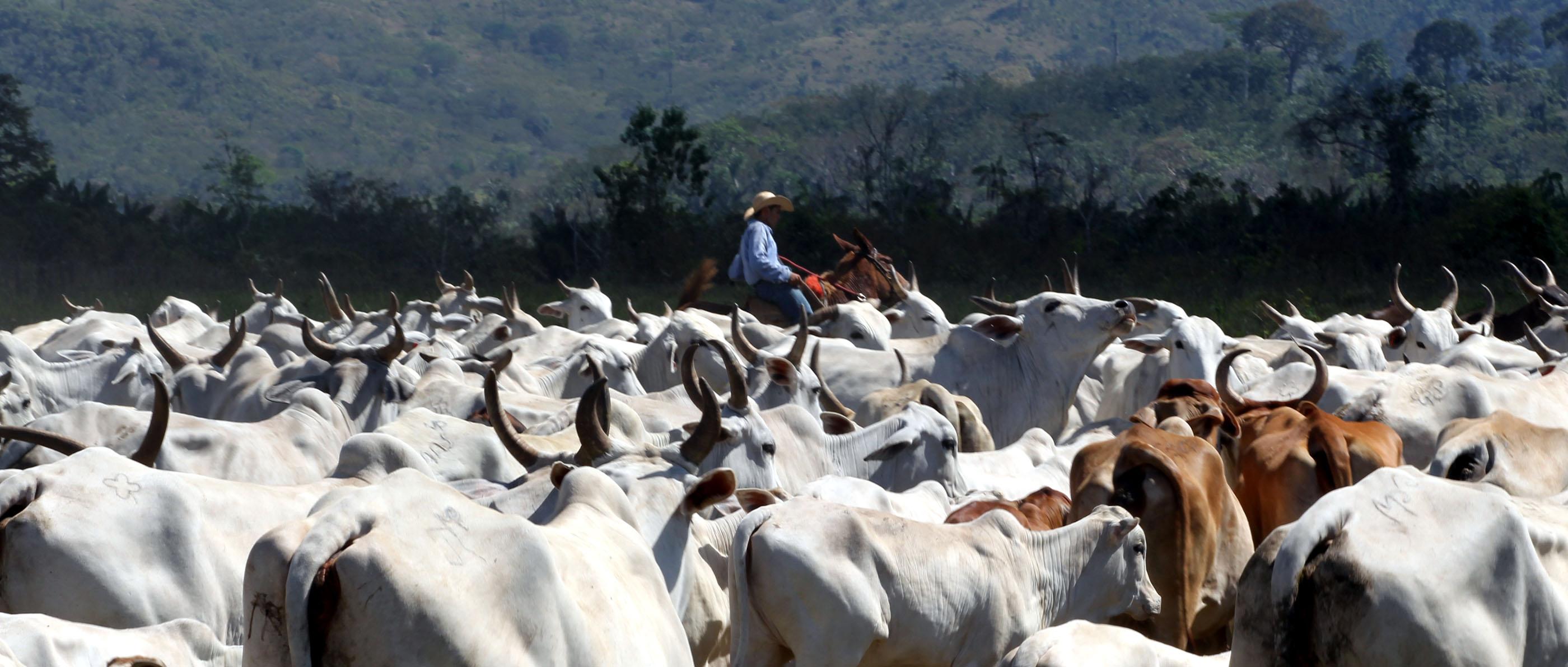 Gado em São Félix do Xingu, no Pará