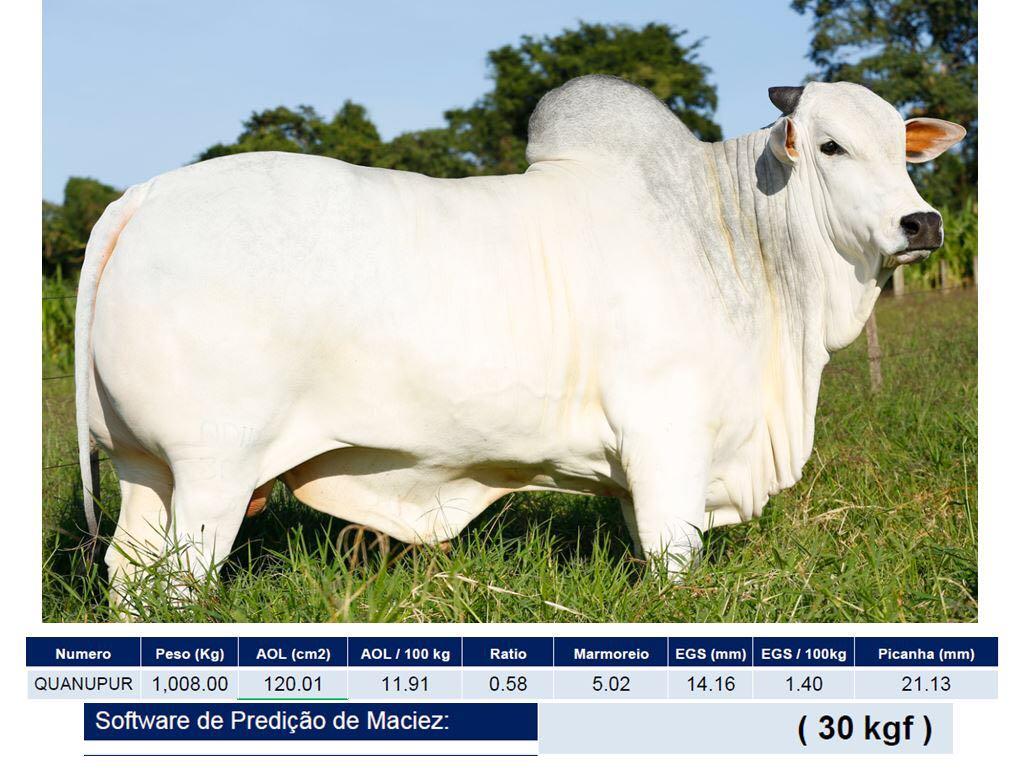 quanupur nelore marmoreio gado touro