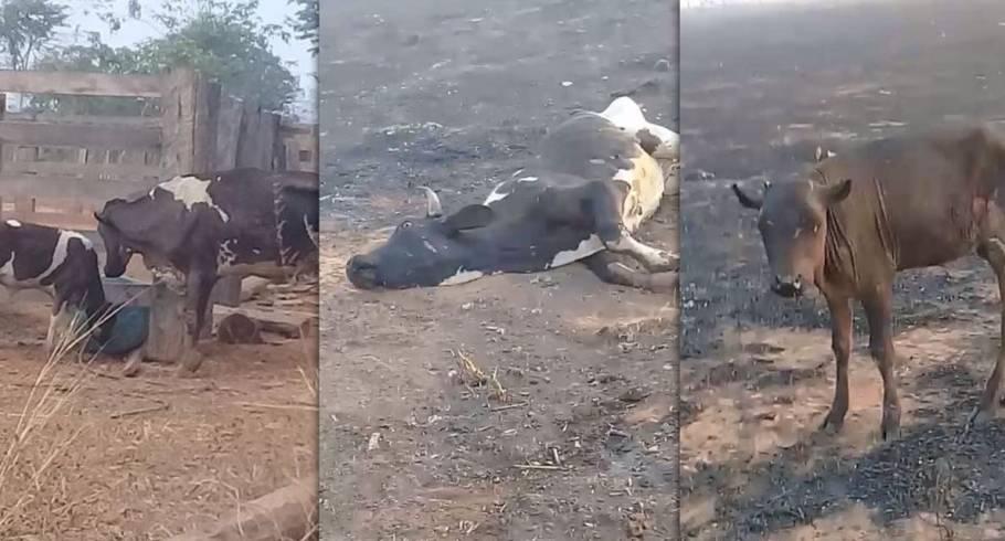 Animais morrem queimados em Nova Ubiratã